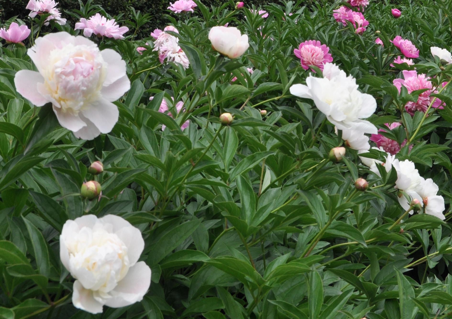 Пионы в вашем саду