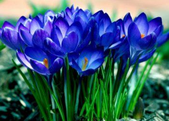 Синие-крокусы