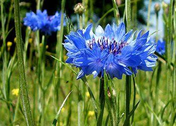 Centaurea-cyanus-big