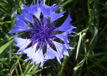 CentaureaCyanus-bloem-kl