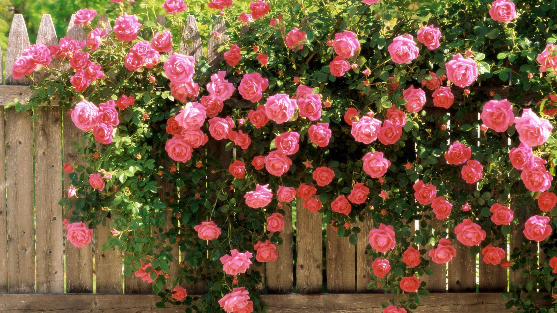 Правильная обрезка роз