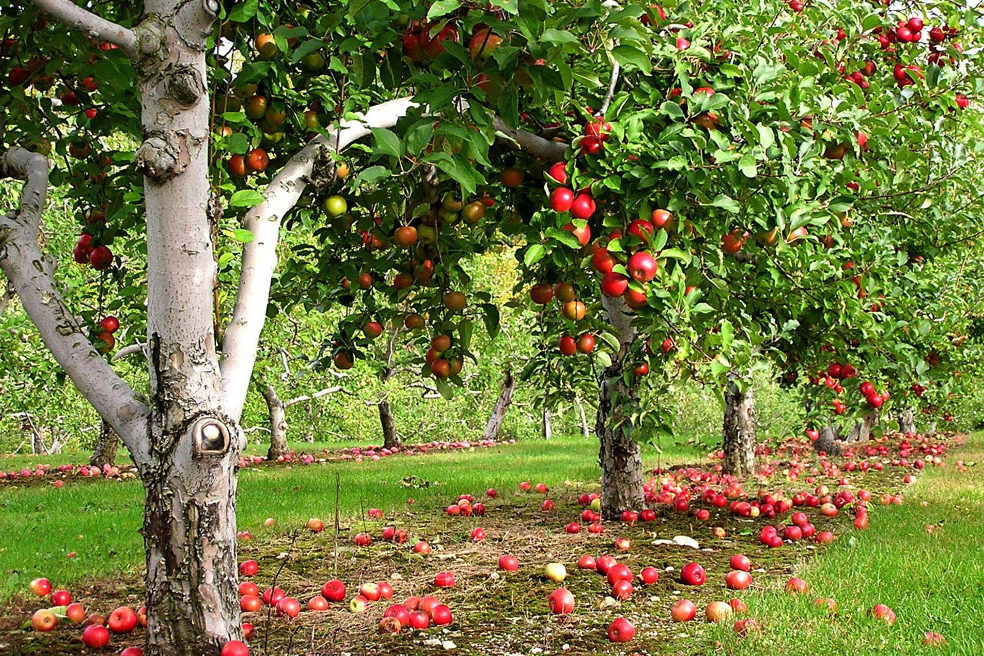 Создание плодового сада на дачном участке