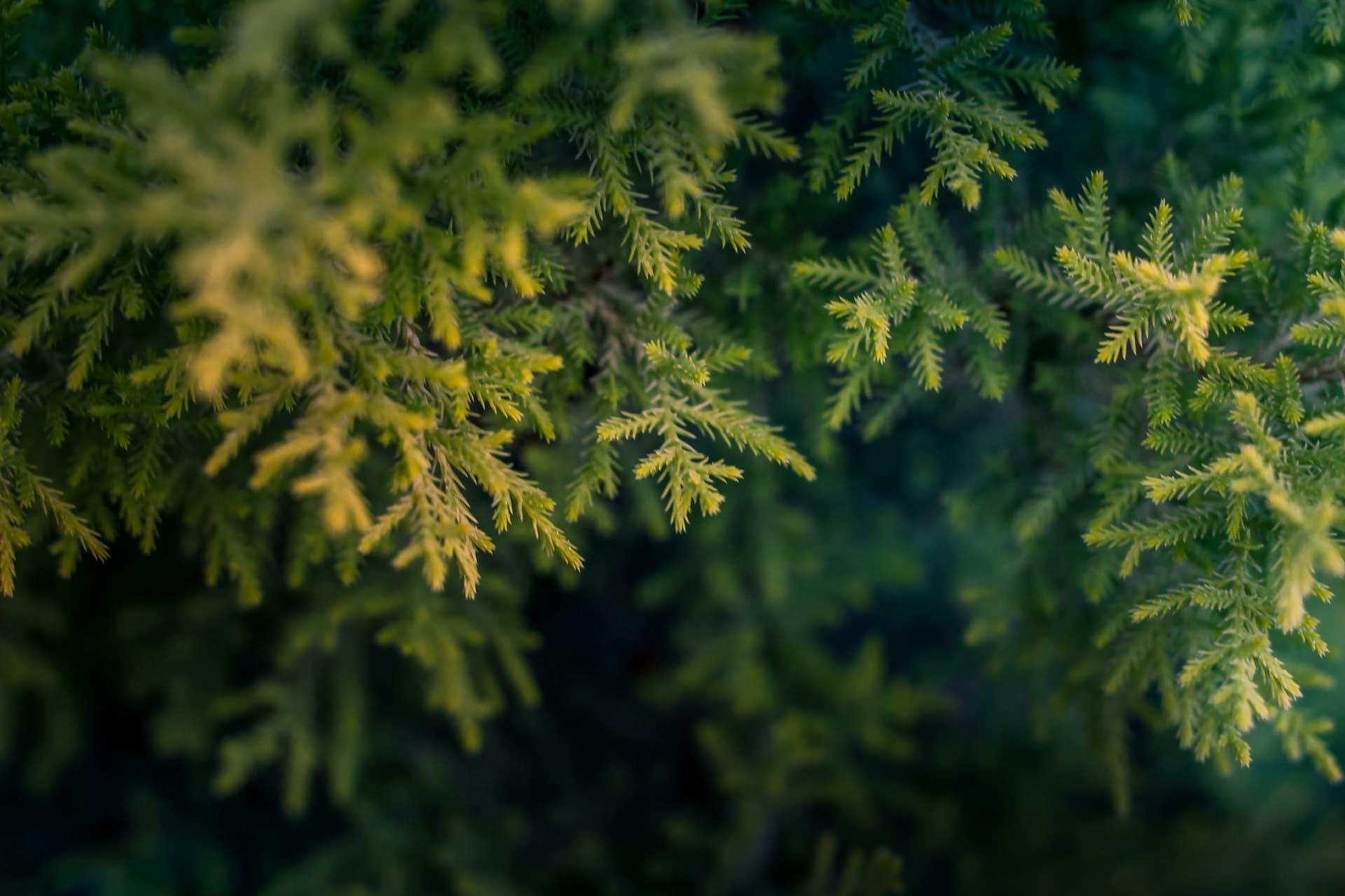Какой грунт выбрать для посадки хвойных растений?