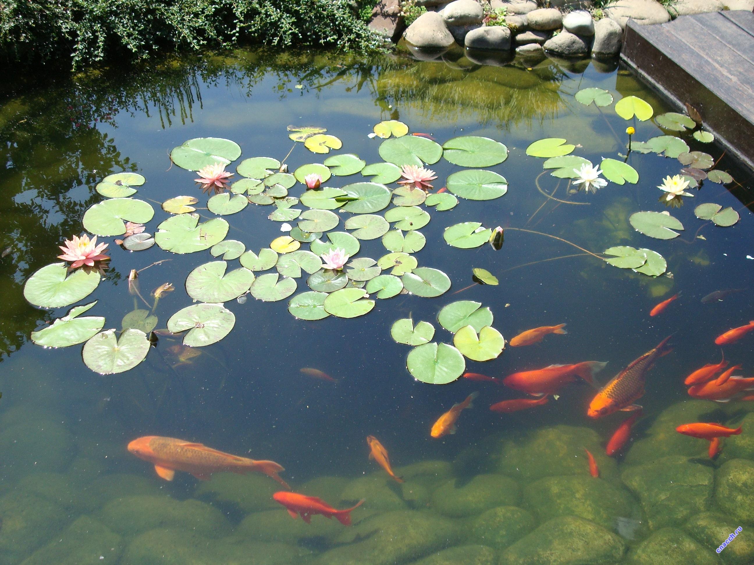 Выбор рыб для декоративного водоема