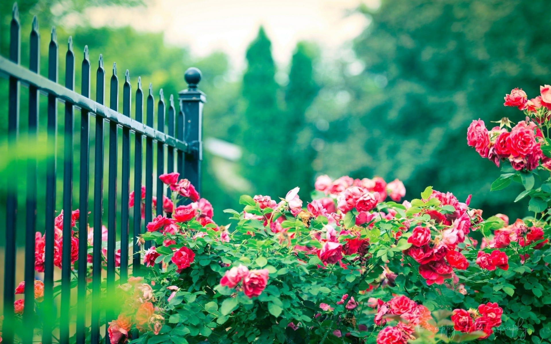 10 интересных фактов о розах, которые вам никто не расскажет
